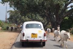 Cows (2)