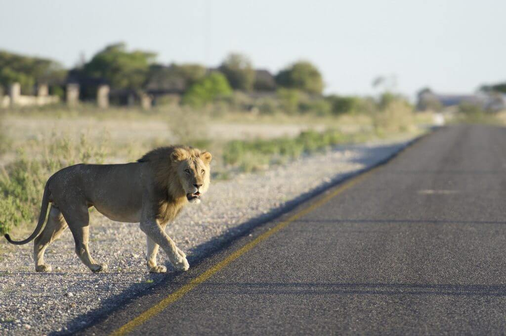 Lion in road
