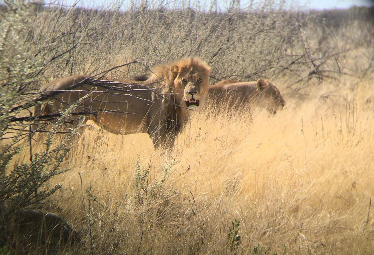 Lion looking, Driving in Namibia