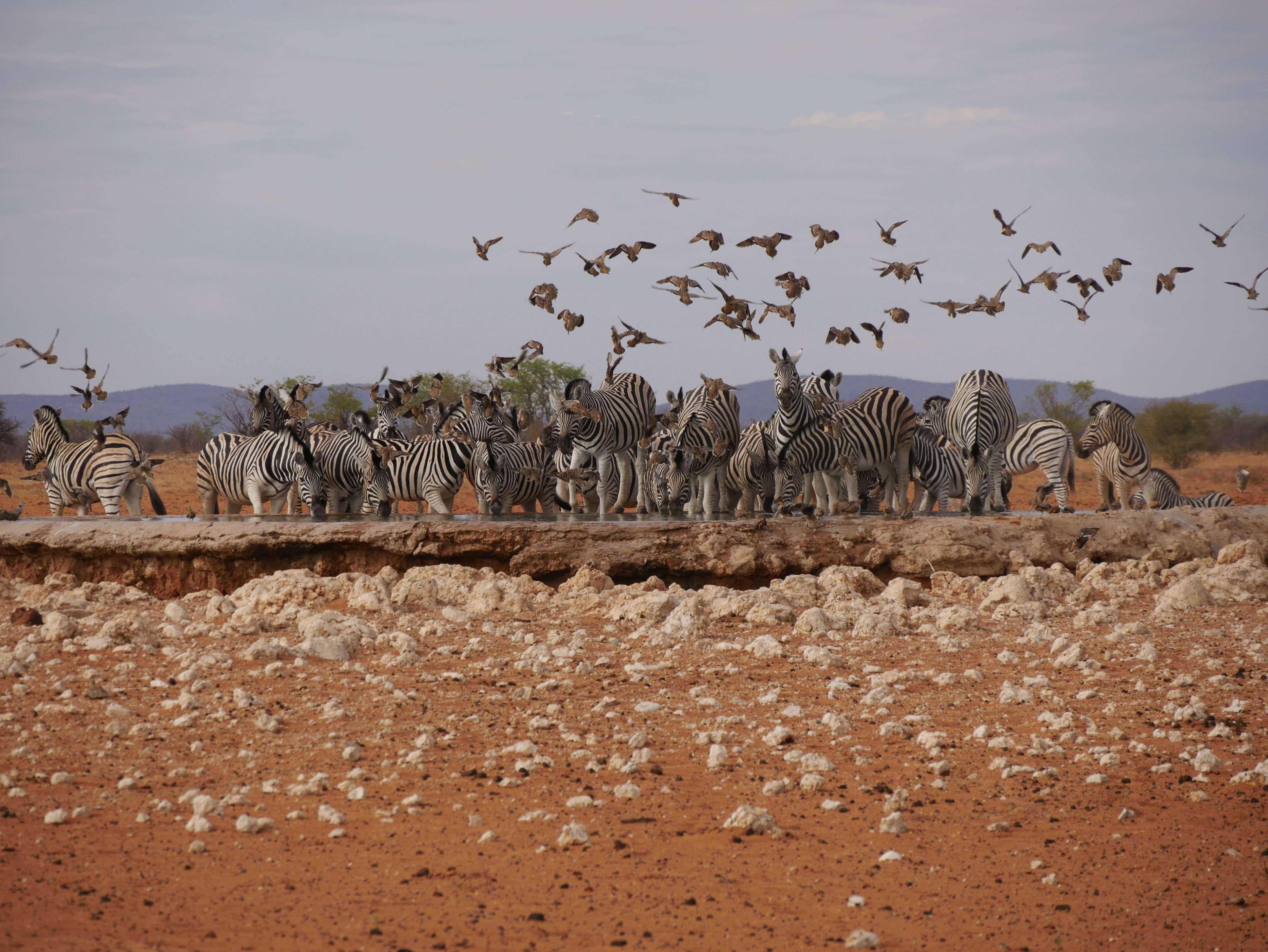 zebras drinking, self drive namibia